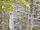 Snow Covered Aspens and Firs  Maroon Bells  Colorado  USA