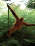 Orangutan in Rainforest  Borneo  Indonesia