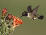 Black-Chinned Hummingbird  Uvalde County  Hill Country  Texas  USA