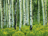 Aspen and Goldenrod  Uinta-Wasatch-Cache National Forest  Utah  USA