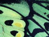 Poseidon Butterfly  Papua New Guinea