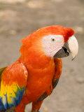 Colorful Red Macaw Bird  Copan Ruins  Honduras