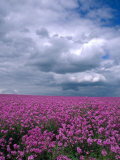 Field of Dames Rocket and Clouds  Oregon  USA