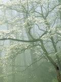 Flowering Dogwood in foggy forest  Shenandoah National Park  Virginia  USA