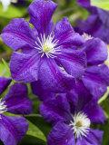 Purple Clematis in Full Bloom