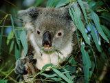 Koala Eating  Rockhampton  Queensland  Australia