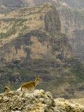 Walia Ibex and Gelada Baboon  Simen National Park  Northern Ethiopia