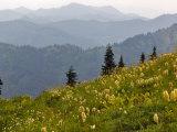 Wildflowers in the Tatoosh Wilderness  Washington Cascade Range  USA