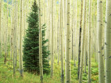 Silver FIr in Aspen Grove  White River National Forest  Colorado  USA