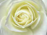Close up details of white rose