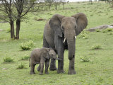 Female African Elephant with baby  Serengeti National Park  Tanzania