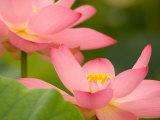Two Pink Lotus Blossoms  Kenilworth Aquatic Gardens  Washington DC  USA