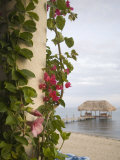Bougainvilla Vine on Pillar  Chabil Mar Villas  Placencia  Stann Creek District  Belize