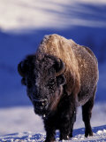 Bison in Yellowstone National Park  Wyoming  USA