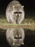 Northern Raccoon  Uvalde County  Hill Country  Texas  USA