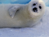 Harp Seal Pup  Gulf of St Lawrence  Canada