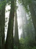 Redwoods in fog  Redwood National Park  California  USA
