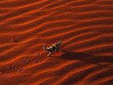 Thorny Devil  Central Desert  Australia