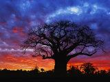 African baobab tree  Tarangire National Park  Tanzania