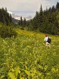 Hiker and Wildflowers in the Tatoosh Wilderness  Cascade Range of Washington  USA