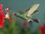 Hummingbird Feeding on Petunia  Madera Canyon  Arizona  USA