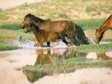 Wild Horses  Gobi Desert  Mongolia
