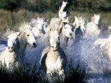 Camargue Horses  Ile Del La Camargue  France