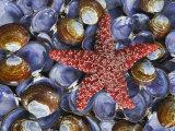 Close-Up of Starfish and Clam Shells  Hood Canal  Seabeck  Washington  USA