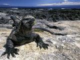 Marine Iguana  Galapagos Islands  Ecuador