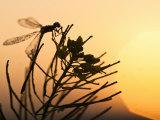 Silhouette of Damselfly  Lee Metcalf National Wildlife Refuge  Montana  USA