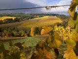 Fall Over the Knudsen and Bella Vida Vineyards  Willamette Valley  Oregon  USA