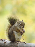 Red Squirrel  Jenny Lake  Grand Teton National Park  Wyoming  USA