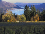 Celilo Vineyard  Columbia River Gorge  Washington  USA