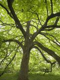 Huge Tree at Monticello  Virginia  USA