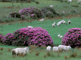 Spring Countryside with Sheep, County Cork, Ireland Papier Photo par Marilyn Parver