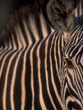 Grevy's Zebra at Sunset, Buffalo Springs National Reserve, Kenya Papier Photo par Paul Souders
