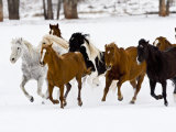 Running Horses on Hideout Ranch  Shell  Wyoming  USA
