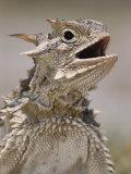 Texas Horned Lizard, Rio Grande Valley, Texas, USA Papier Photo par Rolf Nussbaumer