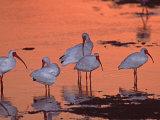 White Ibis  Ding Darling National Wildlife Refuge  Sanibel Island  Florida  USA
