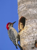 Red-Bellied Woodpecker  Everglades National Park  Florida  USA