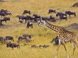 Crossing the Mara River  Maasai Mara  Kenya