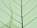 Peepal Leaf Detail  Popular Medicinal Plant  India
