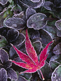 Frost on Ornamental Maple Leaf  Seattle  Washington  USA