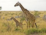 Maasai Giraffes Roaming  Maasai Mara  Kenya