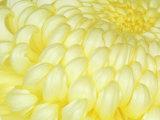 Chrysanthemum  Ise Shrine  Mie  Japan