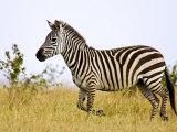 Zebras Herding in The Fields  Maasai Mara  Kenya