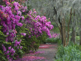 Blooming Azaleas on Middleton Plantation  South Carolina  USA