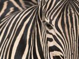 Tight Portrait of Plains Zebra, Khwai River, Moremi Game Reserve, Botswana Papier Photo par Paul Souders