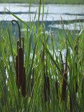 Cattails in Pond  Stockbridge  Berkshires  Massachusetts  USA