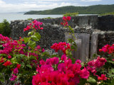 Flowering Bougainvillea & Ruins  Chateau Dubuc  Martinique  French Antilles  West Indies